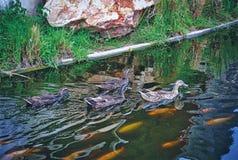 Gruppo di anatre che nuotano nello stagno Fotografia Stock Libera da Diritti