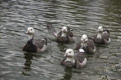 Gruppo di anatre grige che nuotano Fotografie Stock Libere da Diritti