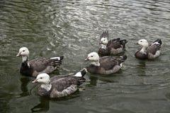 Gruppo di anatre grige che nuotano immagini stock libere da diritti