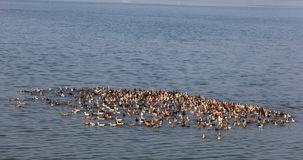 Gruppo di anatre nel lago Fotografie Stock