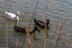 Gruppo di anatre sull'acqua Fotografie Stock Libere da Diritti