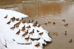 Gruppo di anatre sull'acqua Fotografia Stock