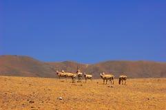 Gruppo di antilope tibetana Fotografia Stock Libera da Diritti