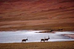 Gruppo di antilope tibetana Fotografia Stock