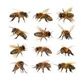 Gruppo di ape o di ape mellifica, apis mellifera Fotografie Stock Libere da Diritti