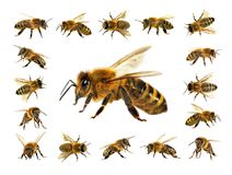 Gruppo di ape o di ape mellifica su fondo bianco, api del miele Immagini Stock
