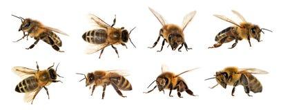 Gruppo di ape o di ape mellifica su fondo bianco, api del miele fotografie stock