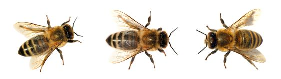 Gruppo di ape o di ape mellifica su fondo bianco, api del miele fotografia stock libera da diritti