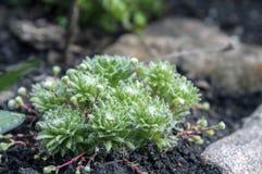 Gruppo di arachnoideum di Sempervivum di piante nel giardino, rosette con le ragnatele Fotografie Stock Libere da Diritti