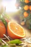 Gruppo di arance e di sezione vicine su nel campo Fotografie Stock Libere da Diritti