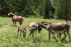 Gruppo di asini sulla terra di alpeggio in un giorno soleggiato Fotografia Stock Libera da Diritti