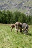 Gruppo di asini sulla terra di alpeggio in un giorno soleggiato Fotografie Stock Libere da Diritti