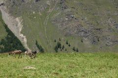 Gruppo di asini sulla terra di alpeggio in un giorno soleggiato Immagine Stock