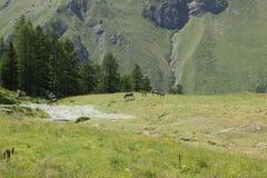 Gruppo di asini sulla terra di alpeggio in un giorno soleggiato Fotografie Stock