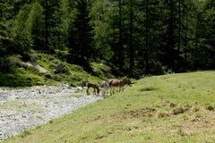 Gruppo di asini sulla terra di alpeggio in un giorno soleggiato Fotografia Stock