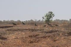 Gruppo di avvoltoi Fotografie Stock