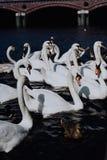 Gruppo di bei cigni bianchi che nuotano sul canale del fiume di Alster vicino al comune a Amburgo Fotografie Stock