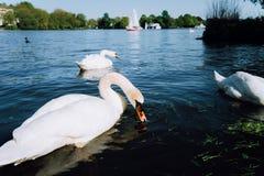 Gruppo di bei cigni bianchi svegli di tolleranza sul lago Alster un giorno soleggiato Barca a vela bianca di piacere nel fondo Fotografie Stock Libere da Diritti