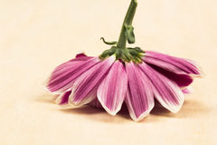 Gruppo di bei fiori del crisantemo Fotografie Stock Libere da Diritti