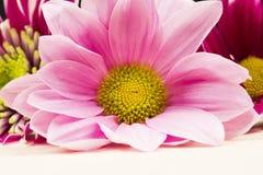 Gruppo di bei fiori del crisantemo Fotografia Stock