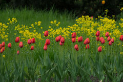 Gruppo di bei tulipani rossi freschi nel giardino con il fondo giallo dei fiori selvaggi Fotografia Stock