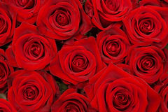 Gruppo di belle rose rosse Fotografie Stock
