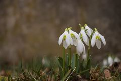 Gruppo di bucaneve (plicatus di Galanthus immagine stock libera da diritti