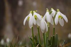Gruppo di bucaneve (plicatus di Galanthus fotografie stock libere da diritti