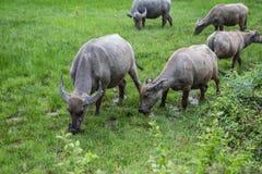 Gruppo di Buffalo nel campo di erba fotografie stock libere da diritti