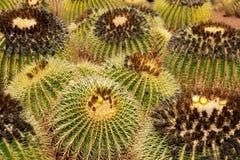 Gruppo di cactus Fotografia Stock
