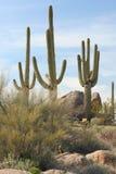 Gruppo di cactus del Saguaro Fotografia Stock