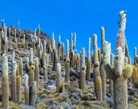 Gruppo di cactus enorme di Trichoreus che sta su Isla Incahuasi al sa fotografie stock