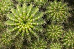 Gruppo di cactus verde - vista superiore Fotografia Stock