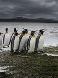 Gruppo di camminare dei pinguini del re Fotografie Stock
