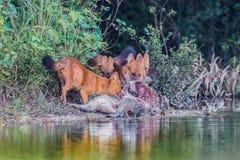 Gruppo di cane selvaggio asiatico Fotografie Stock Libere da Diritti