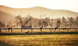 Gruppo di canguri australiani Fotografia Stock