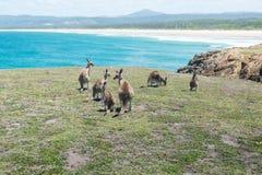 Gruppo di canguro Immagini Stock