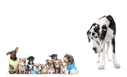 Gruppo di cani contro priorità bassa bianca Fotografia Stock