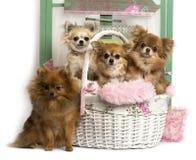 Gruppo di cani davanti ad un fondo rustico Fotografia Stock