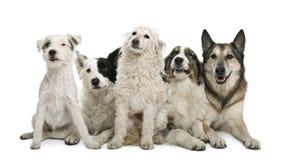 Gruppo di cani davanti a priorità bassa bianca Fotografia Stock Libera da Diritti
