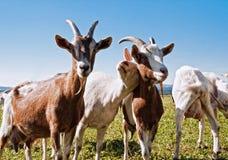 Gruppo di capre Immagine Stock