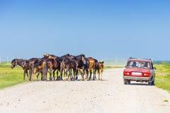 Gruppo di cavalli che camminano liberamente sulla strada rurale fra le automobili Fotografie Stock Libere da Diritti