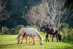 Gruppo di cavalli che mangiano erba in azienda agricola verde Immagini Stock