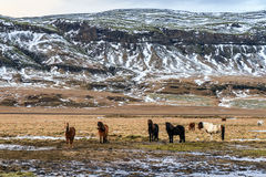 Gruppo di cavalli islandesi immagine stock libera da diritti