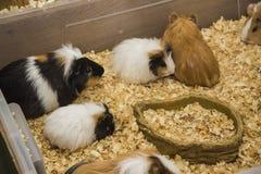 Gruppo di cavie nel cibo del punto Fotografie Stock