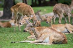 Gruppo di cervi dell'antilope che si siedono sull'erba Fotografie Stock Libere da Diritti