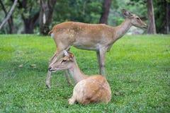 Gruppo di cervi dell'antilope che si siedono sull'erba Immagini Stock