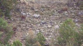 Gruppo di cervi nel selvaggio con il maschio stock footage