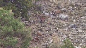Gruppo di cervi nel selvaggio con la camminata maschio archivi video