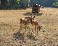 Gruppo di cervi rossi alla recinzione Immagine Stock